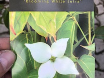 "Hartriegel ""Blooming White Tetra"""