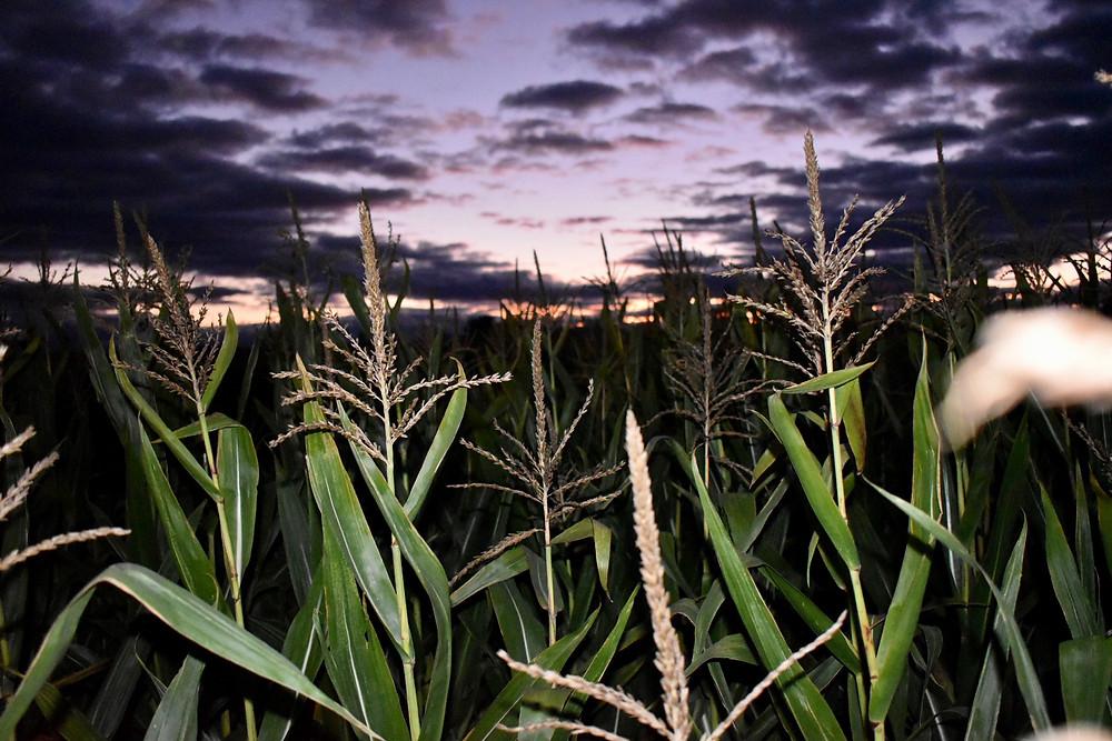 Rulfs Corn Maze_PeruNY