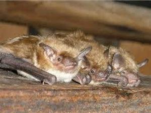 Bats in attic.jpg