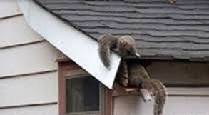 Squirrels entering house_edited.jpg
