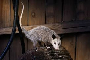 Possum in backyard.jpg