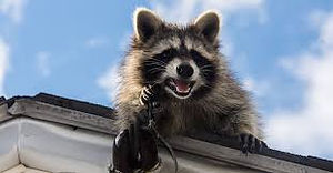 Raccoon On house.jpg