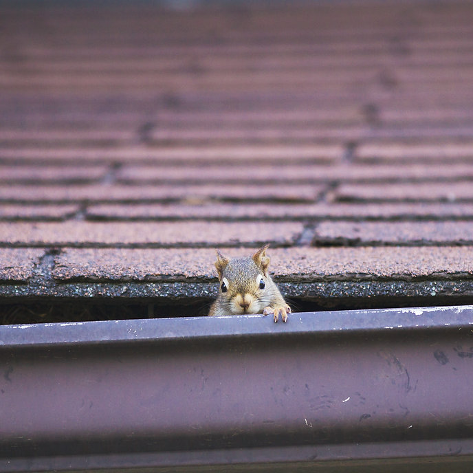 Pesky red squirrel making nest in roof;