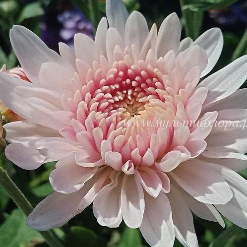 Зимостойкая хризантема Яблоневый цвет
