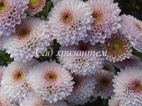 Кустовая хризантема Calimero white