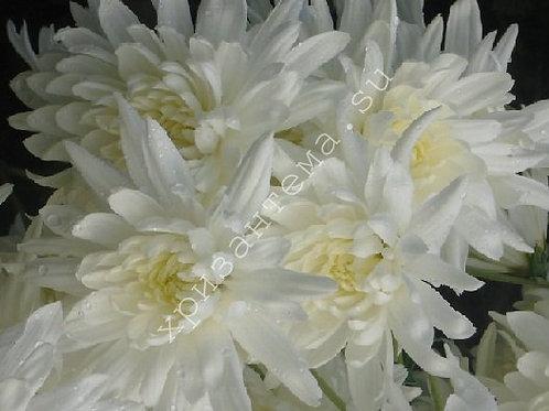 Кустовая хризантема Samara