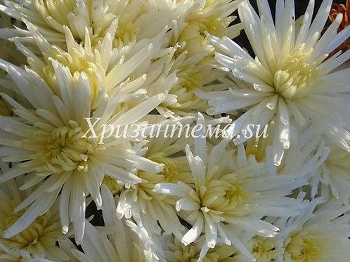 Кустовая хризантема Carole