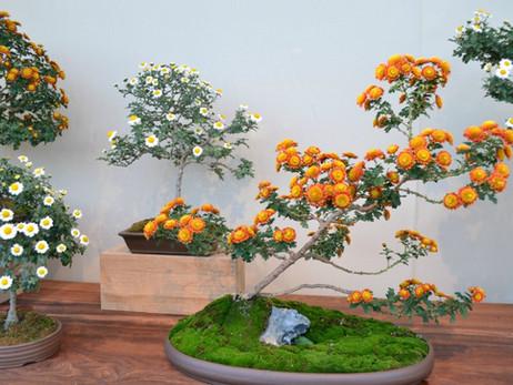 Хризантема бонсай