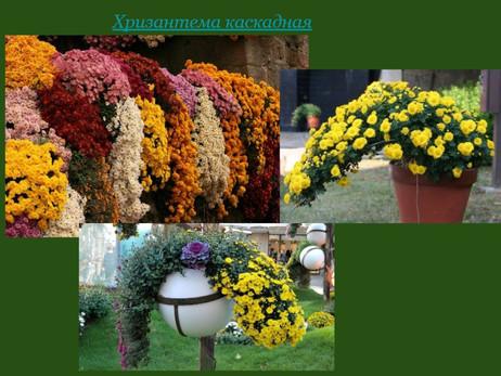Каскадные хризантемы