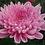Thumbnail: Одноголовая хризантема Minka pink (о.54)