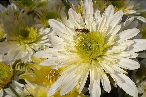 Кустовая хризантема Radost