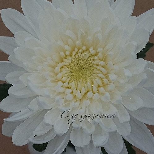 Хризантема одноголовая Minka white (о.62)