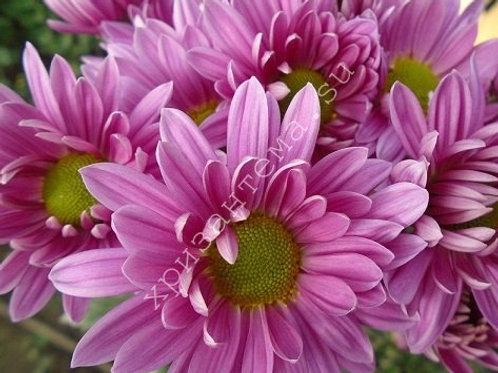 Кустовая хризантема Asenka