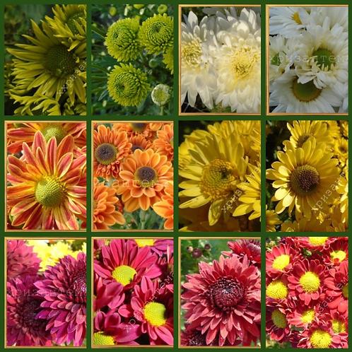 Набор садовой хризантемы №2