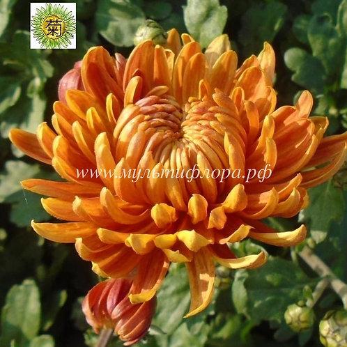 №20. Одноголовая хризантема Золотое руно