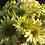Thumbnail: Кустовая хризантема Greenlizard