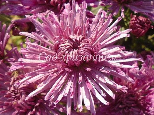 Садовая хризантема Сиреневая иголка