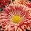 Thumbnail: Корейская хризантема Калиновая роща