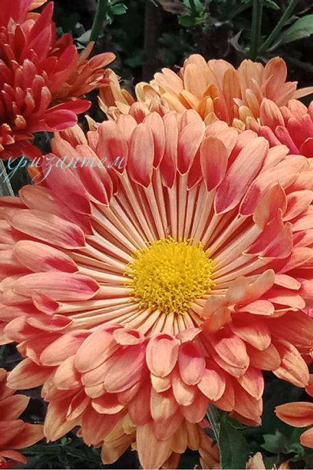 Корейская хризантема Калиновая роща