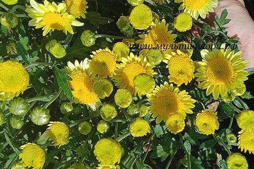 Зимостойкая хризантема Ванилла лимон