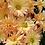 Thumbnail: Садовая хризантема Лето