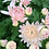 Thumbnail: Горшечная хризантема Pearly