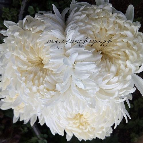 Горшечная хризантема Lovelus