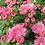 Thumbnail: мультифлора Coeur De rosy(весна 2021 г)