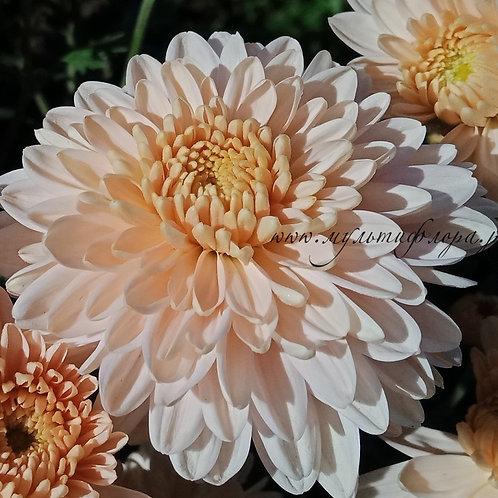 Зимостойкая хризантема Кофейный аромат