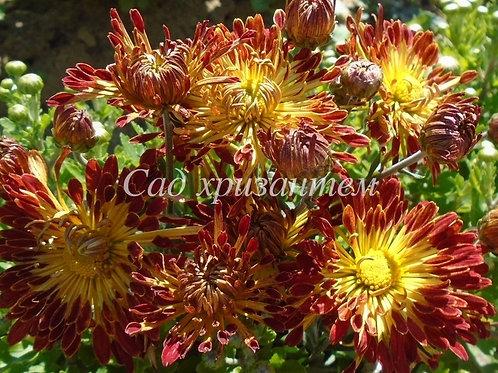 Садовая хризантема Осеннее рандеву (весна 2021 г)