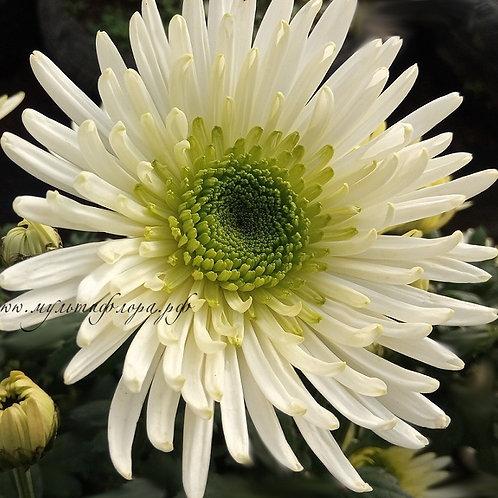 Одноголовая хризантема Zivena