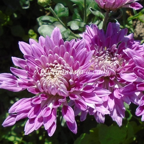 Садовая хризантема Улыбка