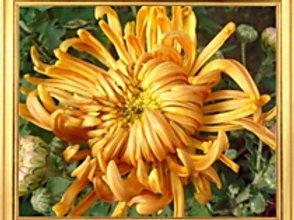Хризантема домашняя насыщенно желтая