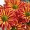 Thumbnail: Кустовая хризантема Jordi red
