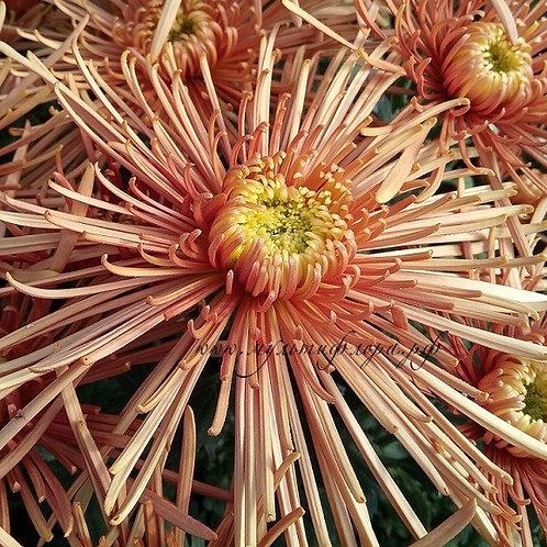Одноголовая хризантема Spider bronze