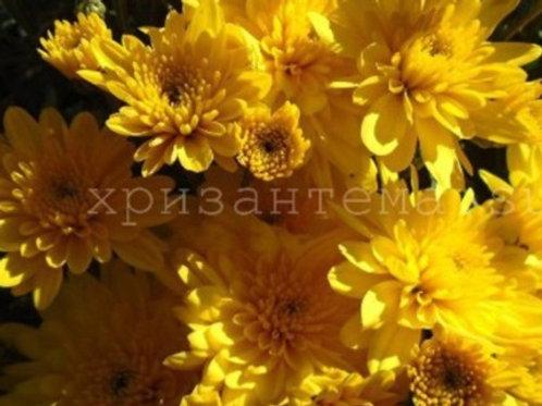 мультифлора Meridian Dark Yellow(весна 2021 г)