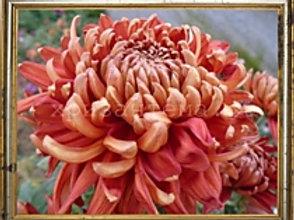 Хризантема домашняя Romy Berdeaux