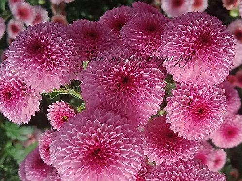 Кустовая хризантема Calimero rose