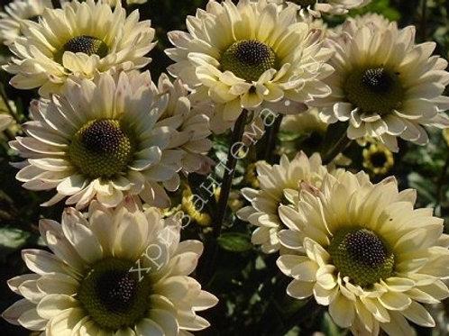 Кустовая хризантема Blink Wendy White