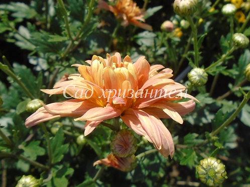 Садовая хризантема Лето