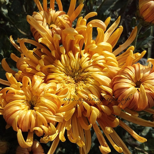 Хризантема домашняя Tonio