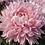 Thumbnail: Одноголовая хризантема Allouise pink