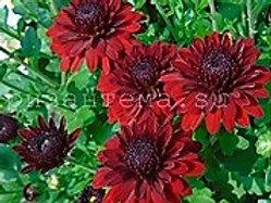 мультифлора Mefisto red (весна 2021 г)