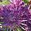 Thumbnail: Хризантема горшечная Santosh Violet