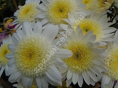 Кустовая  хризантема Larisa