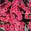 Thumbnail: Корейские хризантемы Гвоздика
