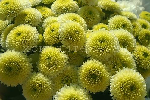 Кустовая хризантема Calimero lime