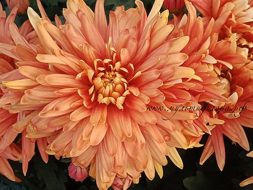 Хризантема домашняя  Пантин бронз