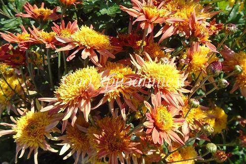 Садовая хризантема Перстень королевы (весна 2021 г)