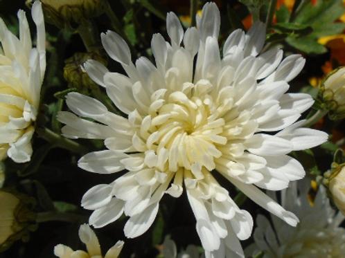 Мультифлора Trikki White(весна 2021 г)